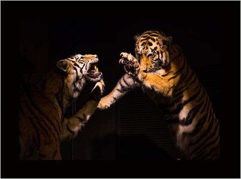 tiger1 (1)